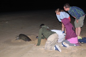Voluntourists with TOSEA observing a female lay eggs